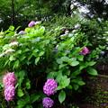Photos: 蔵出し、紫陽花