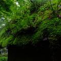 京都ではよく見掛ける光景、茅ぶき屋根から苔やもみじが芽吹いてる