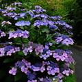 紫陽花には雨が似合う