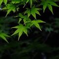 しるひとぞしる京都の新緑の名所蓮華寺にて撮影もみじ