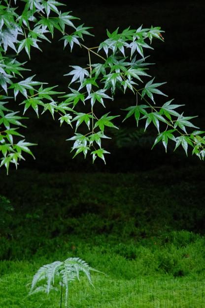 苔、シダ、もみじの奏でる緑色の世界