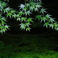 Photos: 苔、シダ、もみじの奏でる緑色の世界