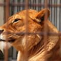 朝イチのライオン舎