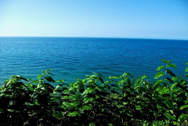 日本海を臨むコシアブラ