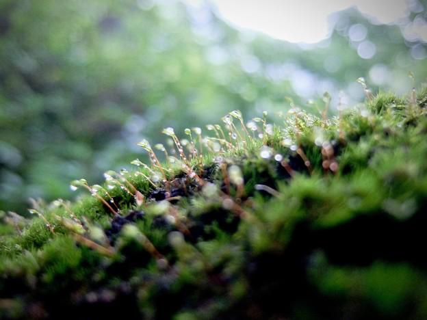 写真: 苔、濡れて
