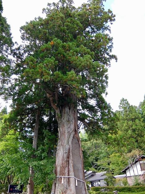 写真: 中社前広場の巨木