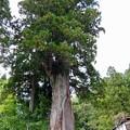 Photos: 中社前広場の巨木