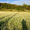写真: 鍋倉高原のそば畑