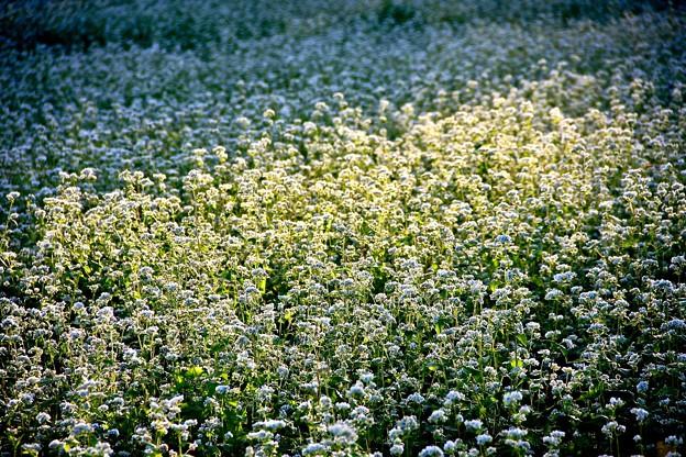 Photos: 輝く蕎麦の花