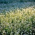 写真: 輝く蕎麦の花