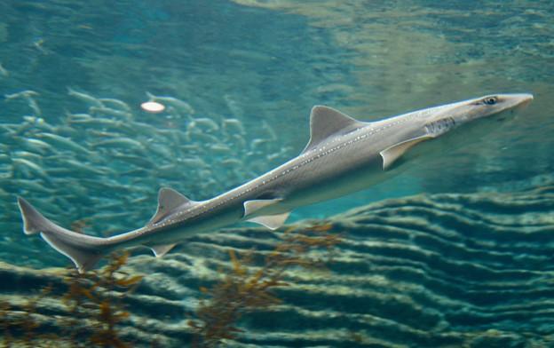 うみがたり大水槽のサメ