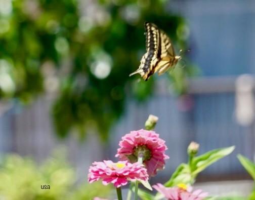 蝶々、蝶々、菜の花に、、止まって~