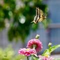 写真: 蝶々、蝶々、菜の花に、、止まって~