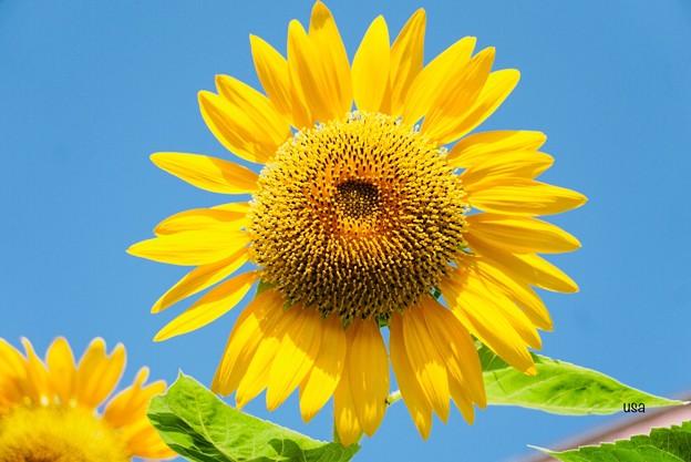 にこにこ向日葵