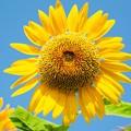 写真: にこにこ向日葵