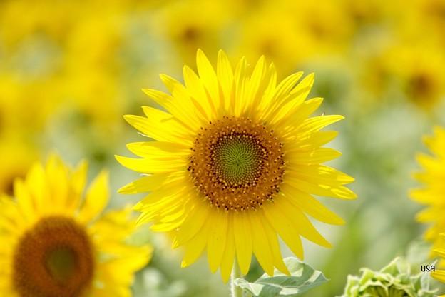 向日葵の幸せ