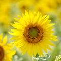 写真: 向日葵の幸せ