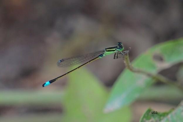 水色尻尾の水トンボ
