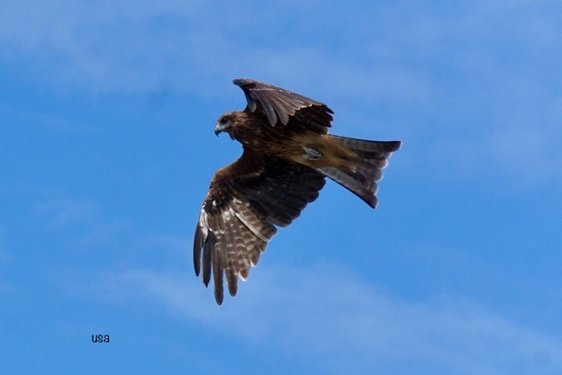 優雅に飛ぶトンビ