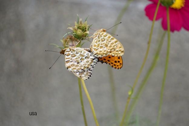 Photos: 蝶リボンのお花