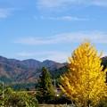 11月の山並みと、銀杏