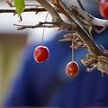 写真: 姫林檎とくまくん