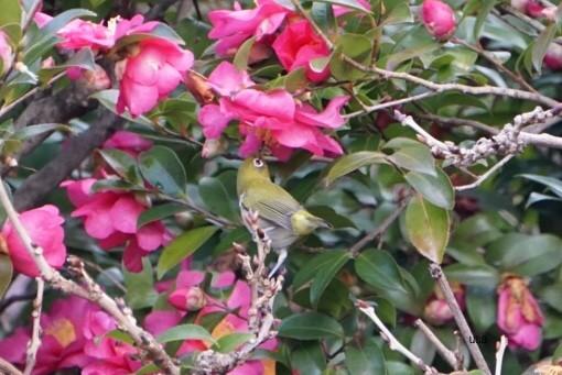 山茶花の蜜は、美味しい??