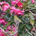 写真: 山茶花の蜜は、美味しい??