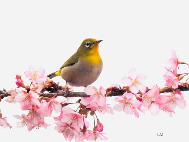 Photos: 桜ジロ~~!!!