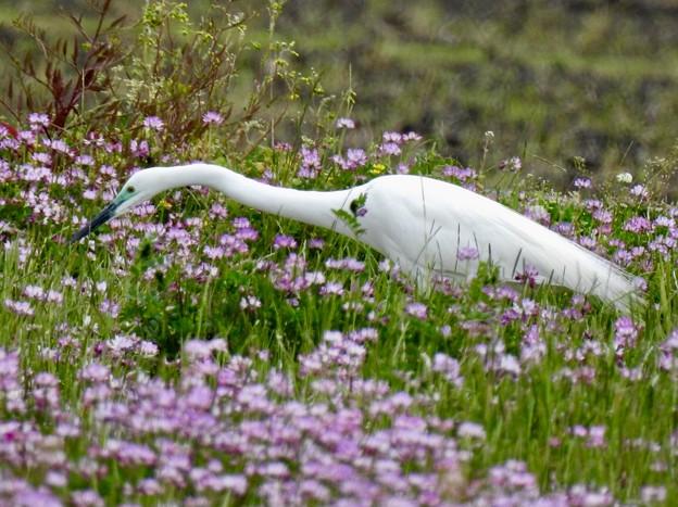 蓮華畑と、白鷺