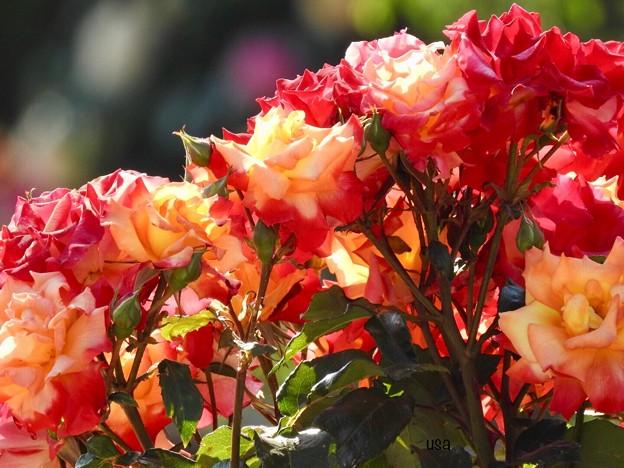 Rose 愛