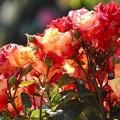 Photos: Rose 愛