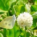 黄色の点燈蝶