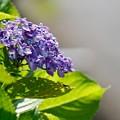 紫陽花のシルエット
