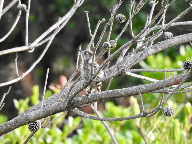 マツボックリの木の中で