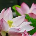 Photos: 咲かせて、咲かせて