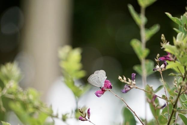 6月19日 シジミ花