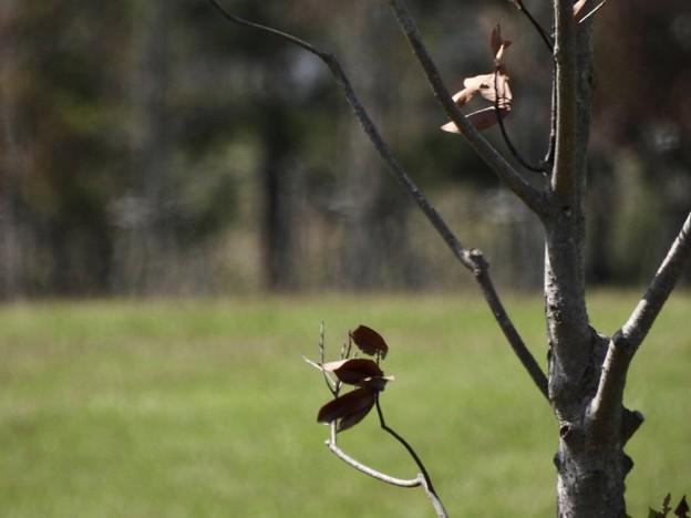 枯れ葉黒文鳥
