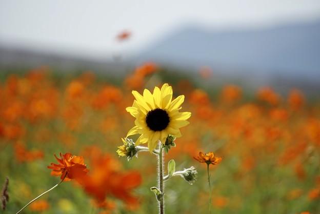 秋の向日葵