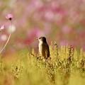Photos: 秋桜に恋して