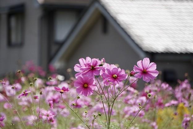 家の前に、秋桜