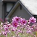 Photos: 家の前に、秋桜