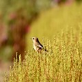Photos: 私と小鳥と鈴と