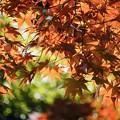 降り注ぐ春の紅葉