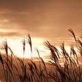 Photos: 夕陽に染まるカルスト大地のススキ