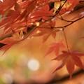 Photos: 優しい紅葉