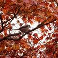 Photos: 秋を喜ぶ、エナガちゃん