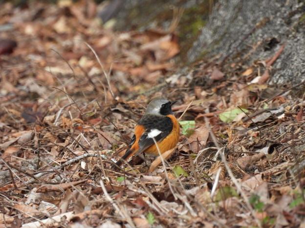 Photos: 枯れ葉に埋もれるジョビオくん