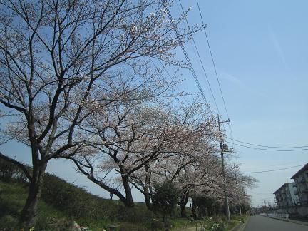 向川団地近くの浅川土手の桜1