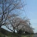 Photos: 向川団地近くの浅川土手の桜1